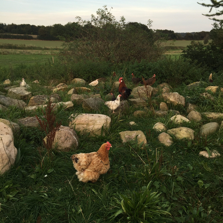 fritgående høns, økologiske høns