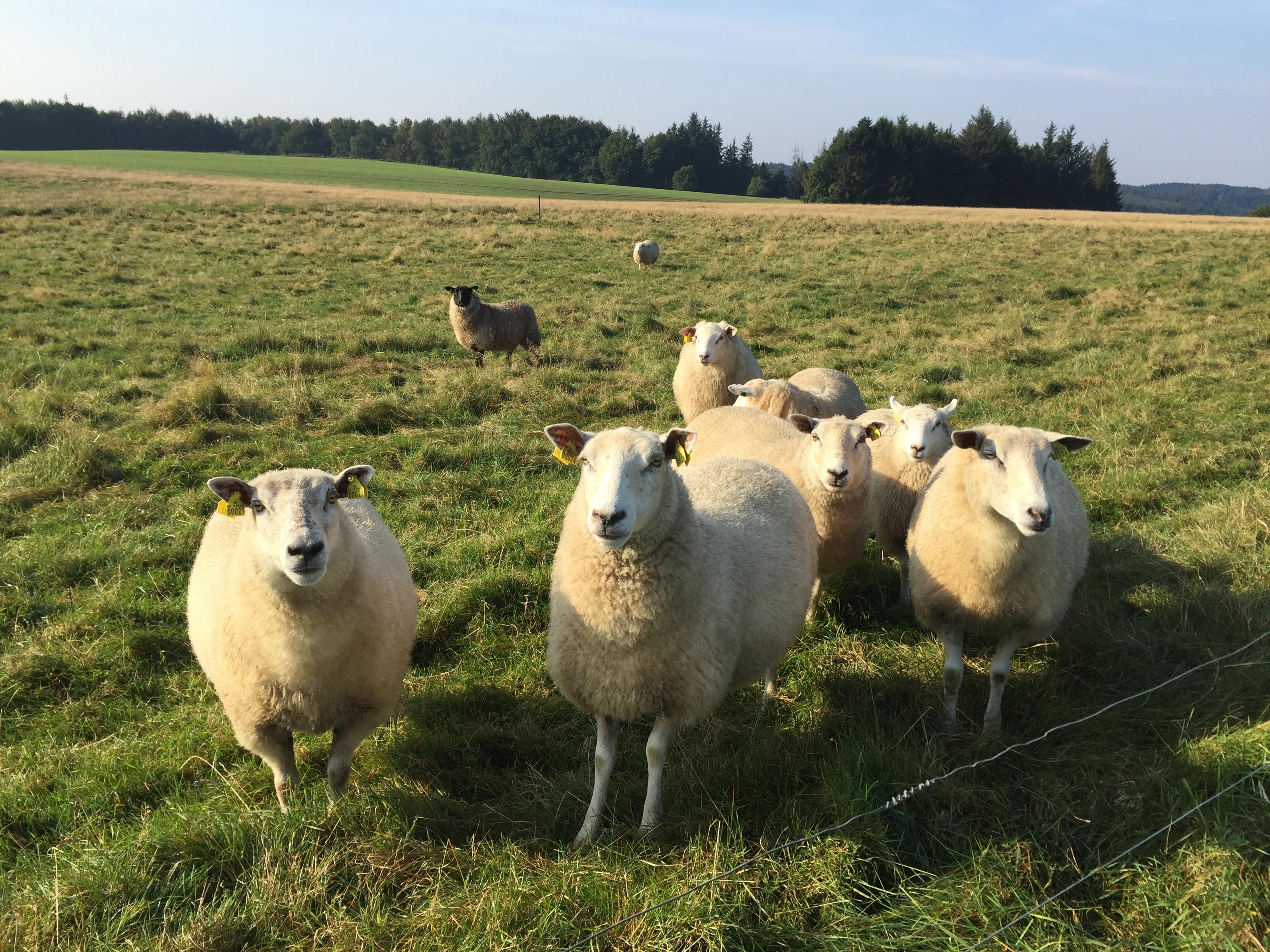 Økologiske lam