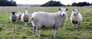 halvt økologisk lam, økologisk lam, økologisk lam kg pris, gårdsalg lam
