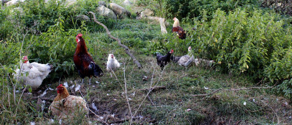 Økologiske æg, landæg, fritgående høns